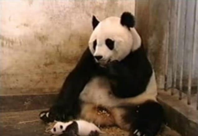 Малышка-панда