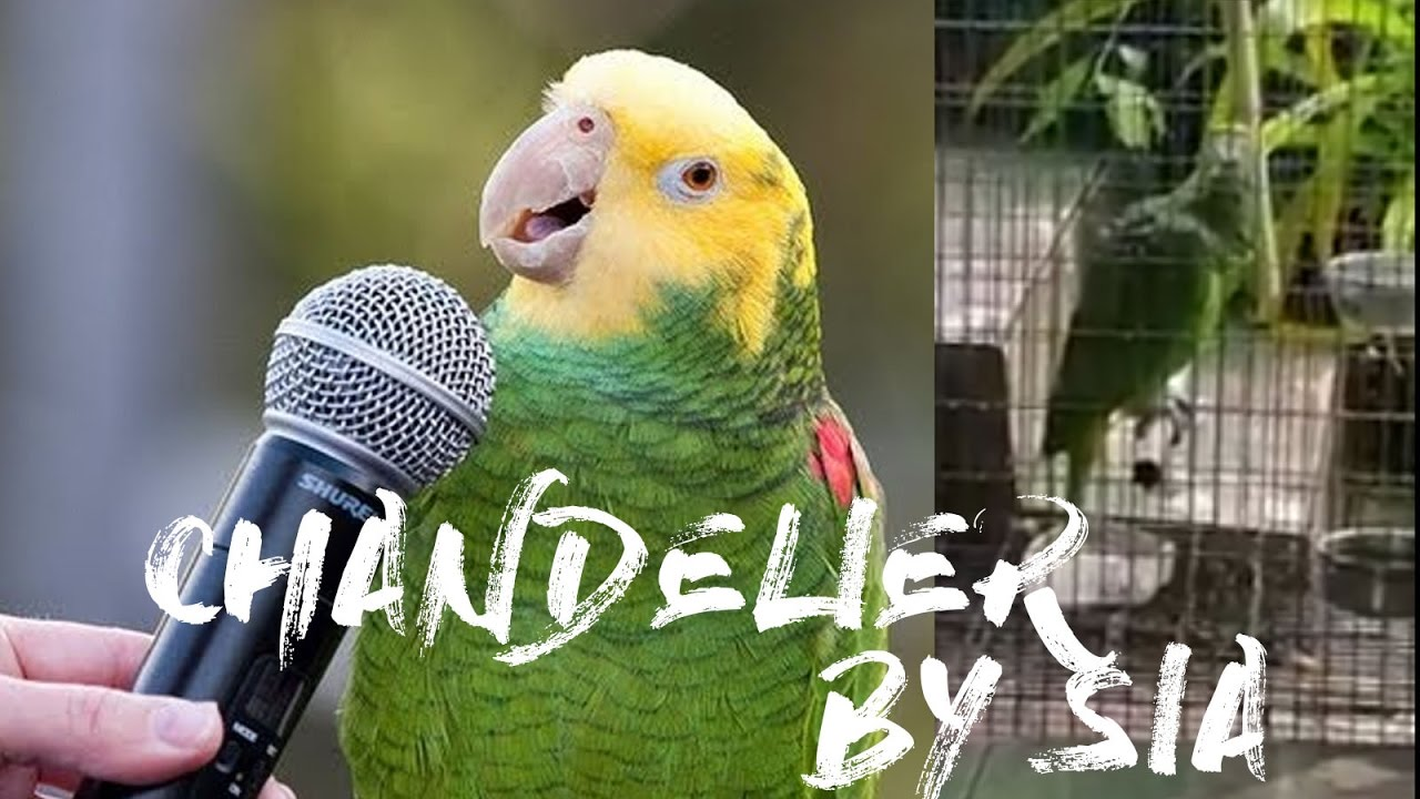 Попугай исполнил песню певицы Sia — Chandelier