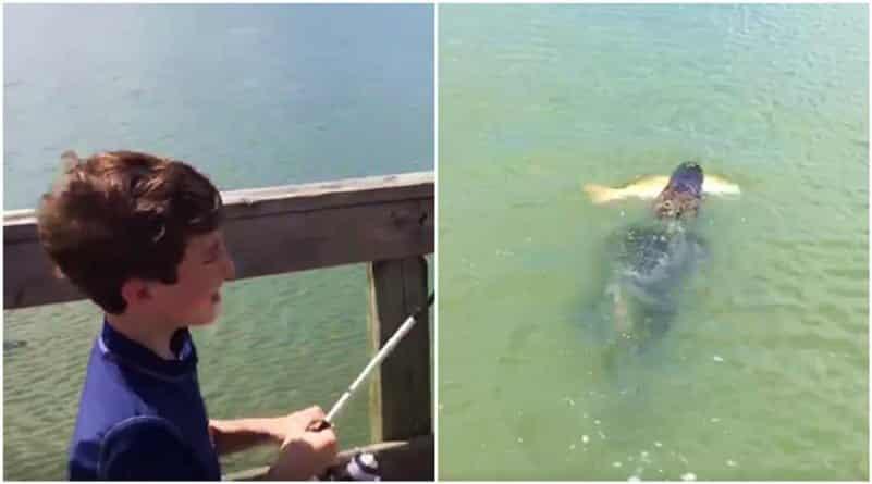 Ленивый аллигатор украл добычу у юного рыбака! Видео