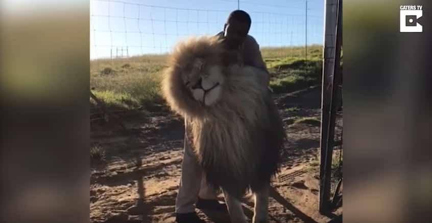 Сотрудник заповедника делает массаж льву. Видео