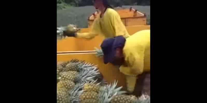 Живой конвейер по сбору ананасов. Видео