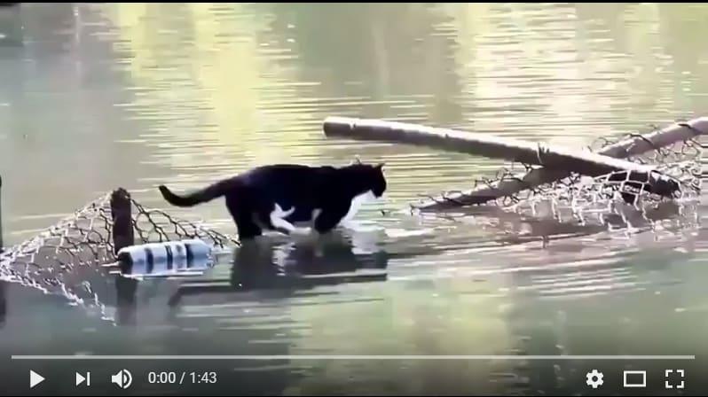Этого кота не пугают никакие водные преграды! Видео