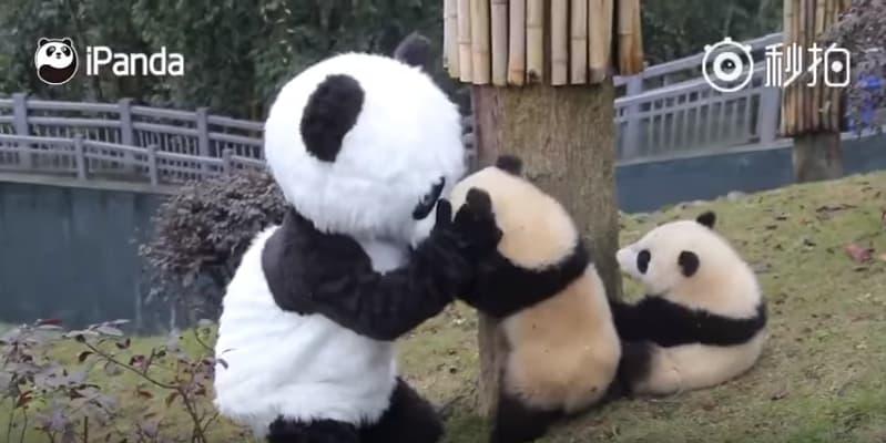 Одна из лучших работ в мире: Работники китайского заповедника переодеваются в панду и обнимаются с маленькими пандами