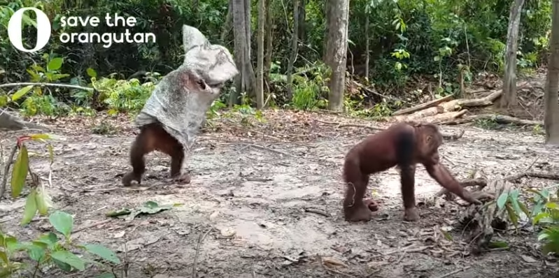 Веселый орангутан делает все возможное, чтобы заставить друзей поиграть с ним