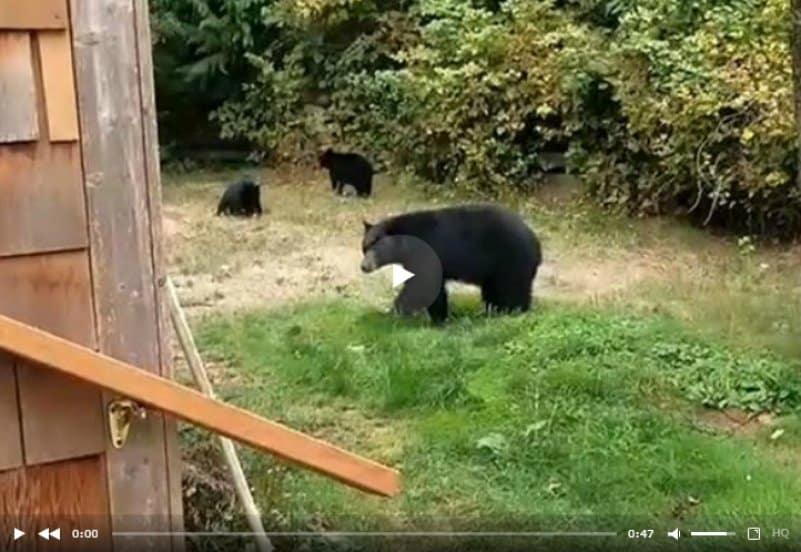 Житель Канады вежливо попросил медведей уйти с его двора и они согласились