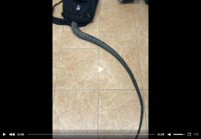 Змея потянулась к знаниям и залезла в рюкзак своего хозяина. Видео