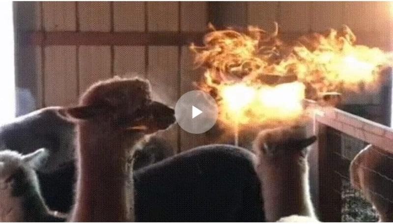Огнедышащая альпака из Колорадо. Видео
