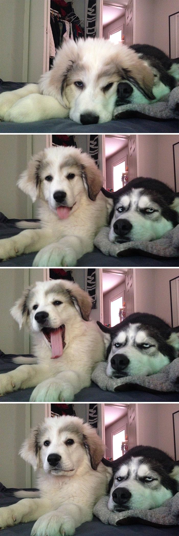 18+ смешных фото, доказывающих, что лучше хаски может быть только... две хаски!