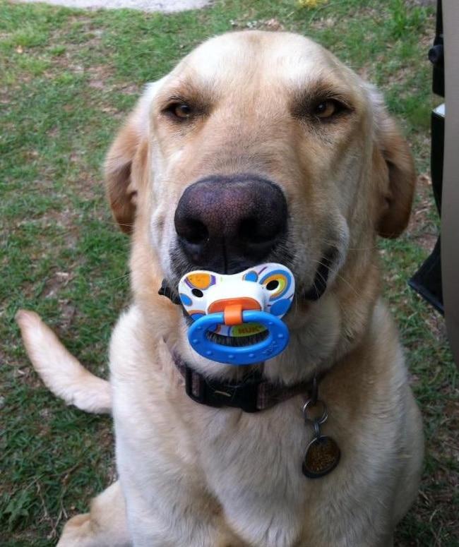 16 собак, которые готовы достать для своего хозяина все что угодно. рис 4