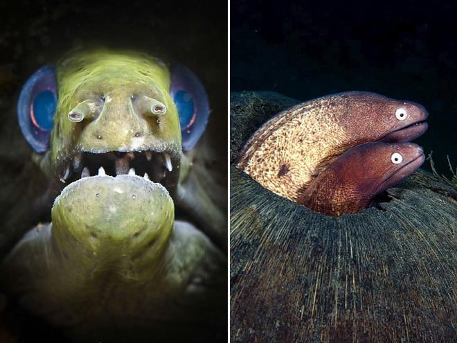 16 доказательств того, что мурены - самые смешные обитатели морей!