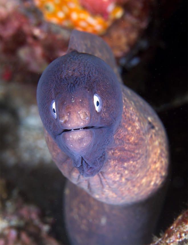 16 доказательств того, что мурены - самые смешные обитатели морей! рис 7