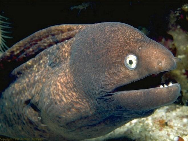 16 доказательств того, что мурены - самые смешные обитатели морей! рис 16