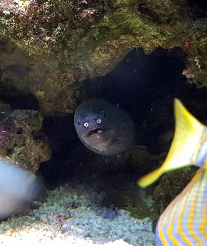 16 доказательств того, что мурены - самые смешные обитатели морей! рис 15