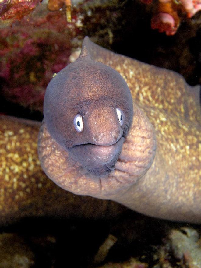 16 доказательств того, что мурены - самые смешные обитатели морей! рис 11