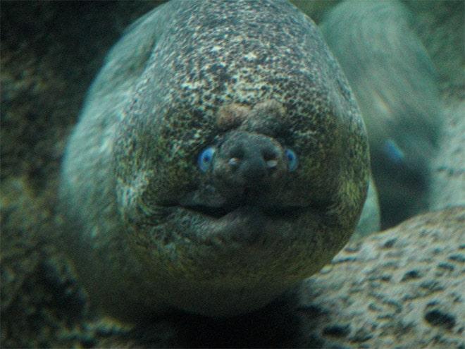 16 доказательств того, что мурены - самые смешные обитатели морей! рис 10