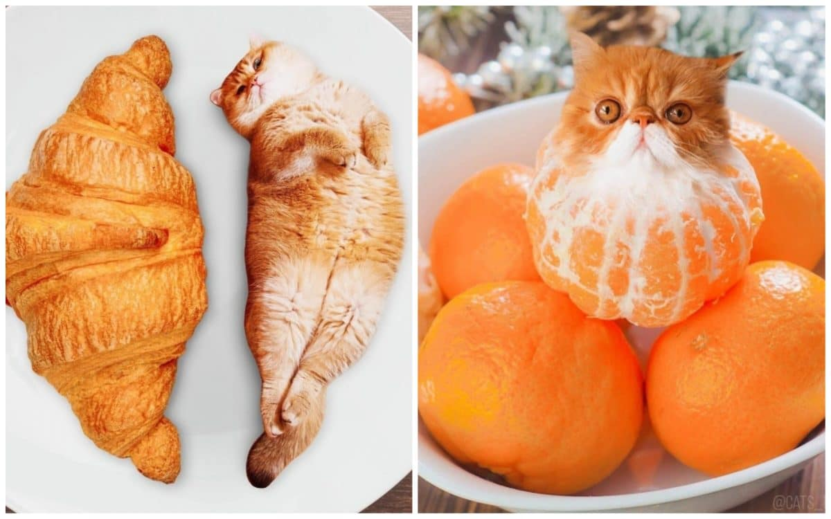 18 кошек маскируются под еду с легкой руки российской художницы!18 кошек маскируются под еду с легкой руки российской художницы!