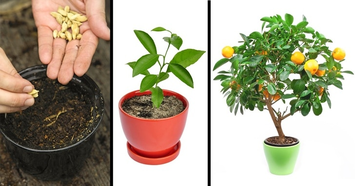 как вырастить мандарин дома