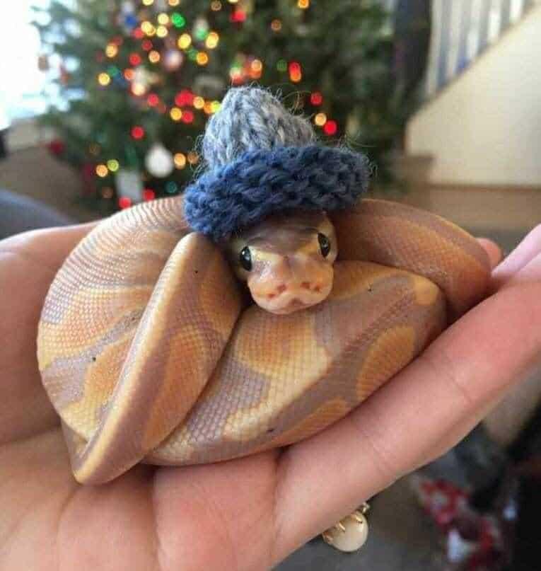 20 милых снимков змей в головных уборах! 19
