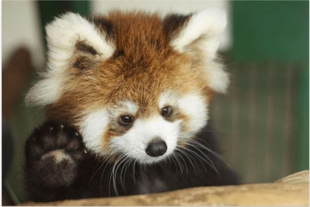 малыш красной панды
