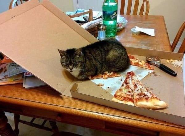 кот сидит в коробке с пиццей