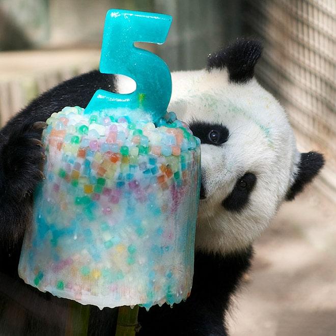 панды 7