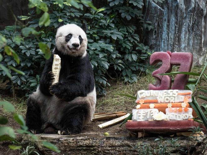 панды 12