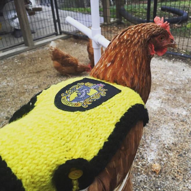 Курицы в свитерах 9