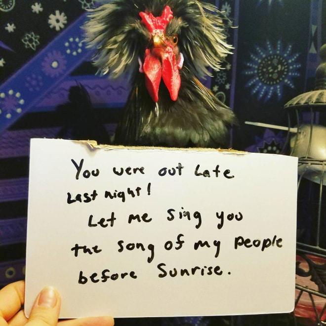 курицы 6