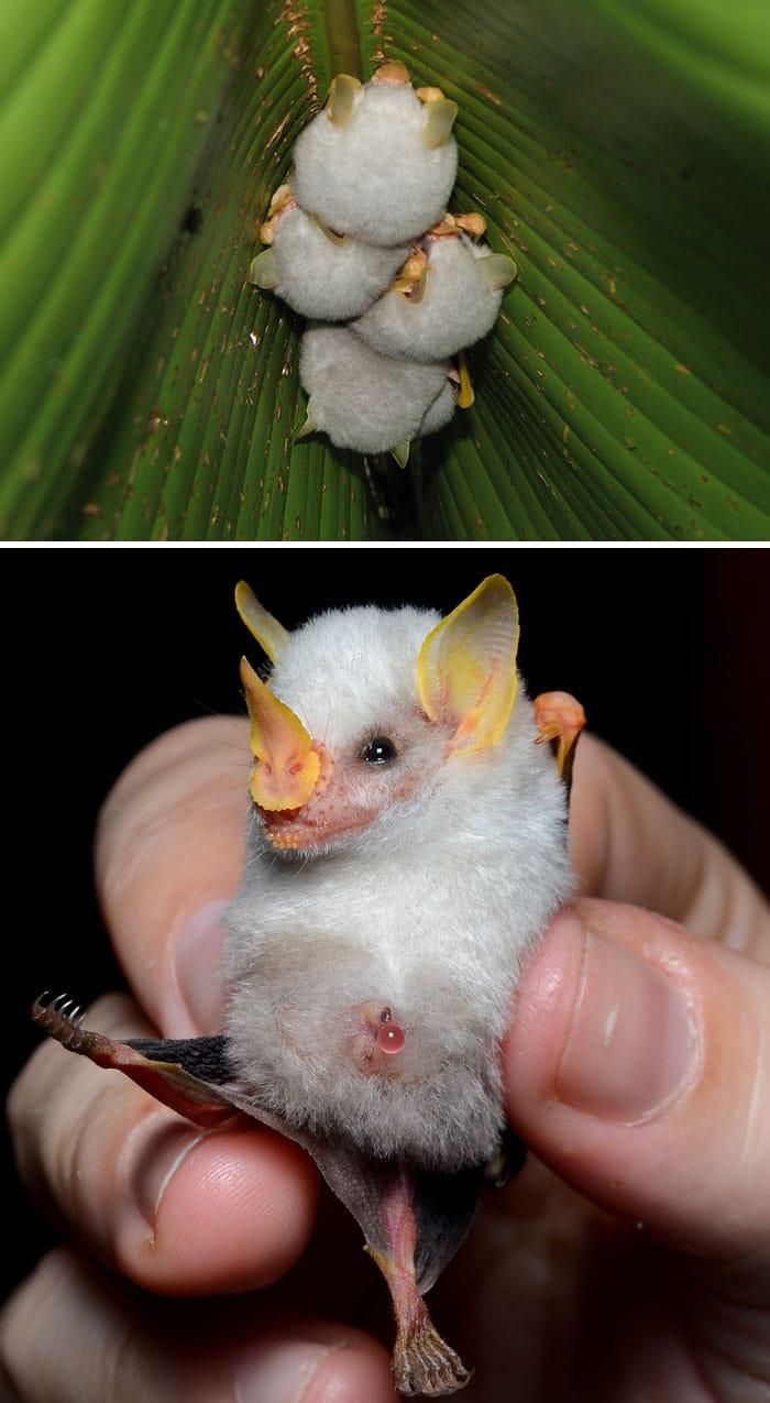 гондурасская белая летучая мышь