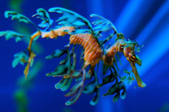 листовой морской дракон