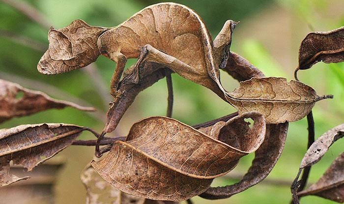 сатанинский листохвостый геккон
