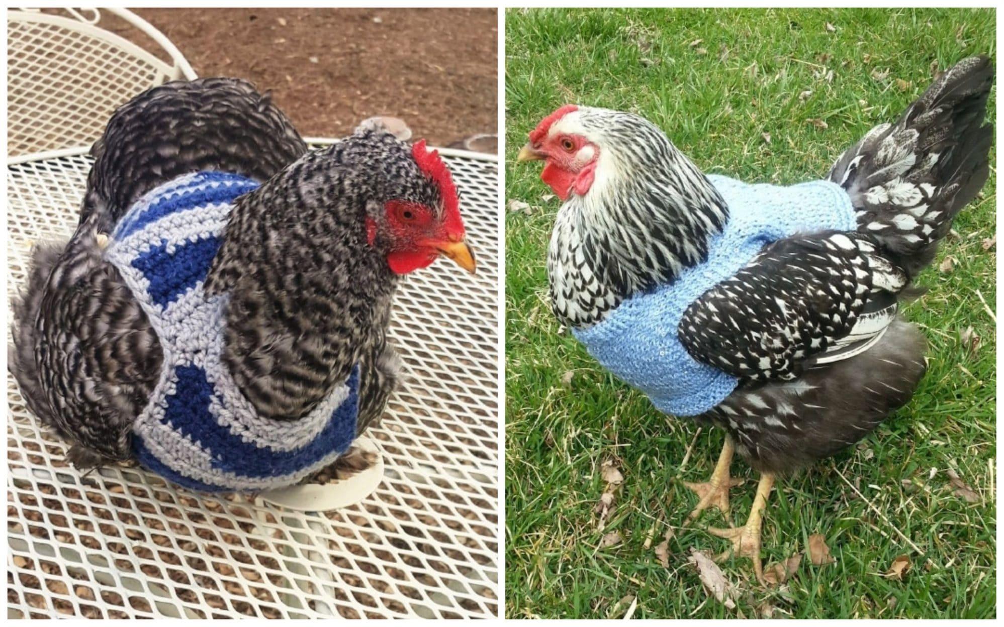 Курицы в свитерах 12