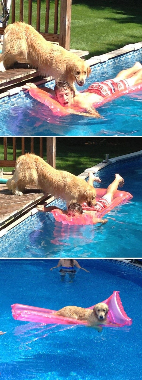 золотистый ретривер в бассейне