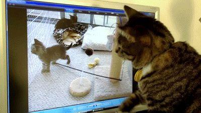 кот и монитор gif