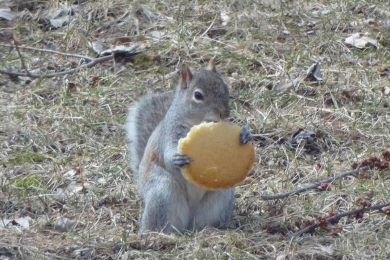 Белка ест печенье