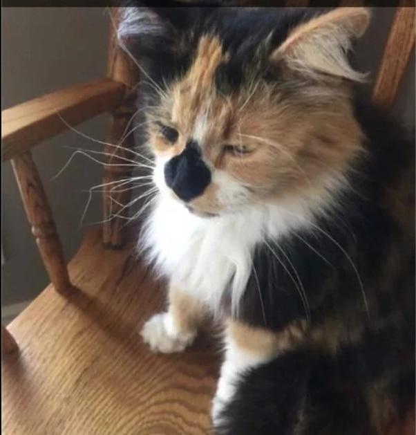 кошка трехцветка