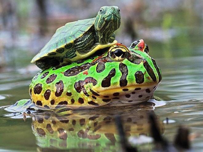 черепаха и жаба