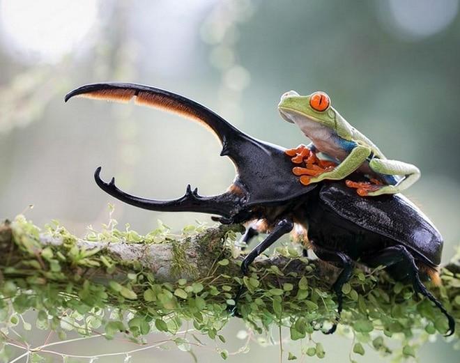 лягушка и жук рогач