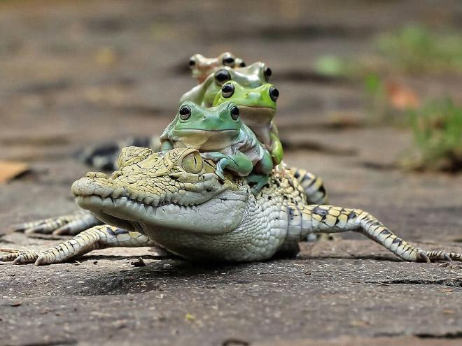 крокодил и лягушки