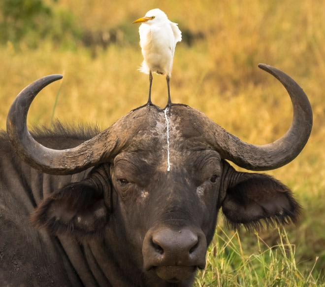 птица и буйвол
