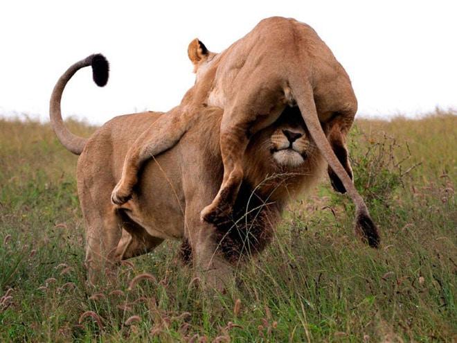 львица и лев