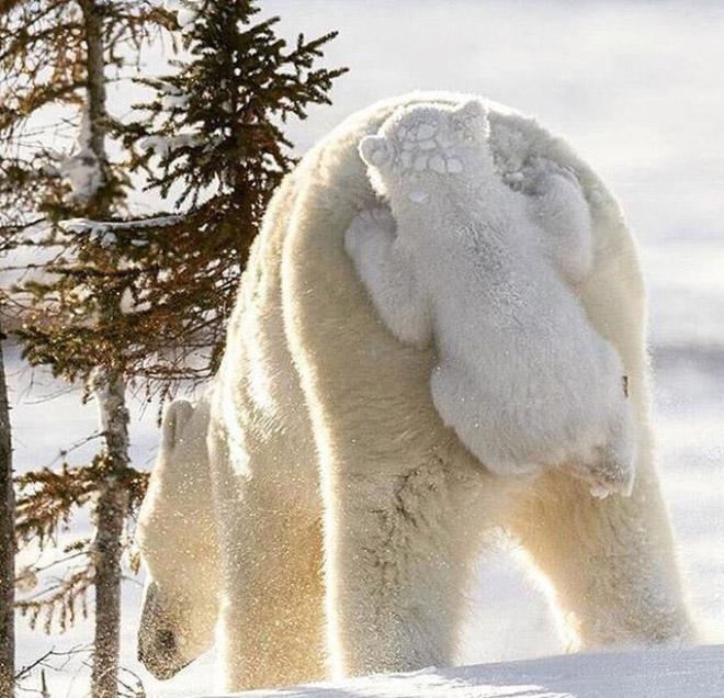 белая медведица и медвежонок