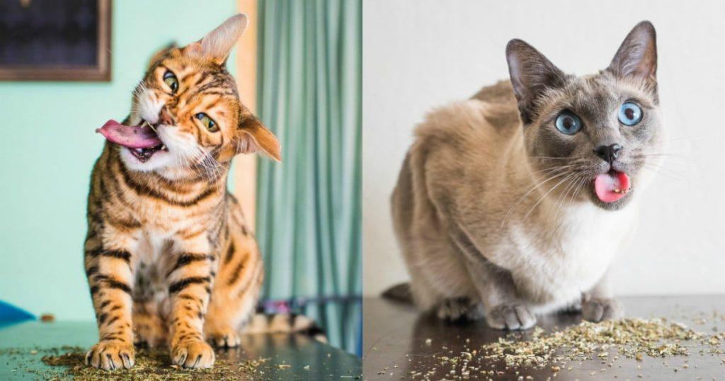 17 котов попробовали кошачью мяту. И их реакция бесценна!