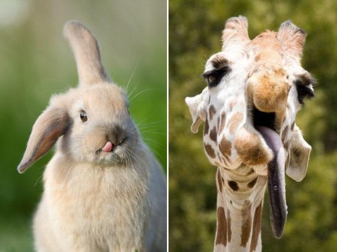 заяц и жираф