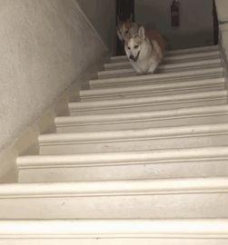 корги на лестнице