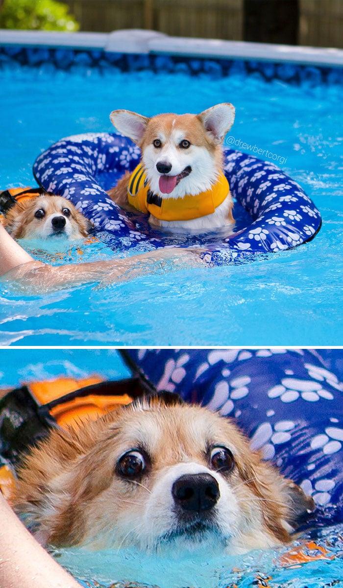 корги в бассейне