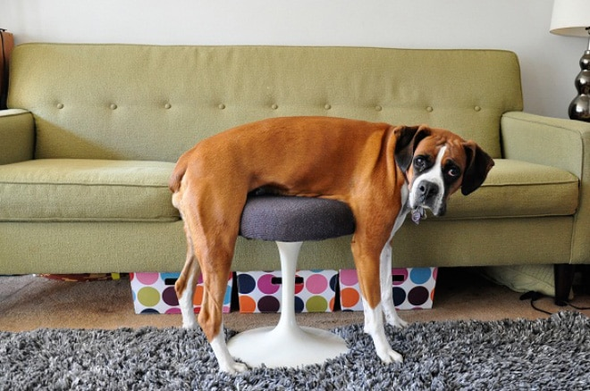 собака на стуле