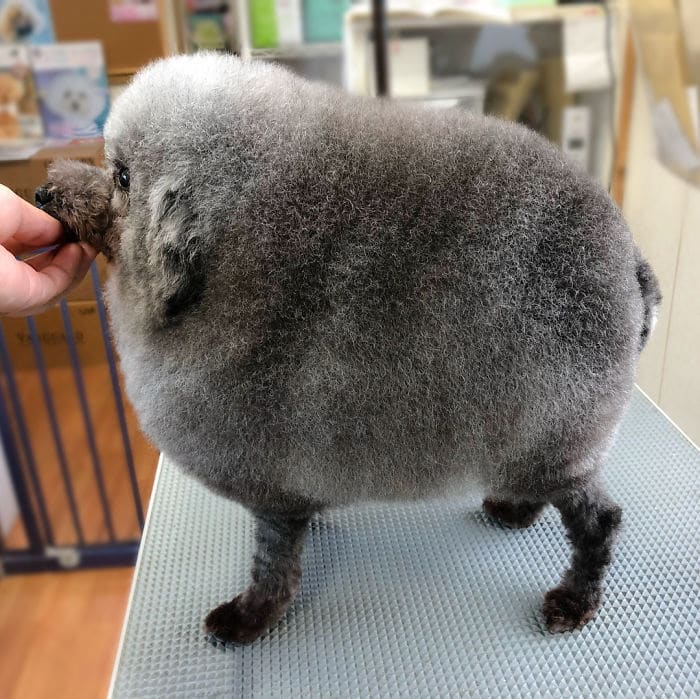 Одуванчик-овечка
