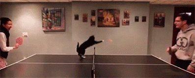 кот и пинг понг gif