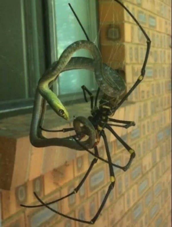 гигантский паук и змея